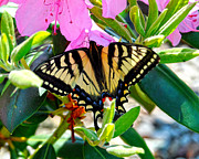 Rhodendron Prints - Swallowtail Spring Print by Diane E Berry