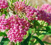Swamp Milkweed Photos - Swamp Bee by Whispering Feather Gallery