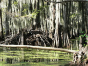 Cypress Swamps Framed Prints - Swamp Condo Framed Print by Joy Tudor