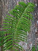 Palm Tree Greeting Cards - Swamp Fern by Juergen Roth