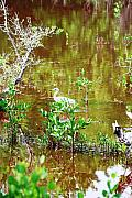 Florida Swamp Prints - Swamp Fishing Print by Peter  McIntosh