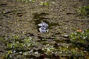 Gary  Taylor - Swamp Gator