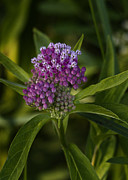 Swamp Milkweed Photos - Swamp Milkweed by Brian Peterson