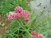 Swamp Milkweed Photos - Swamp milkweed by Matt Berry