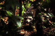 Raccoon Photo Posters - Swamp Raccoon Poster by David Lee Thompson