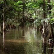 Florida Swamp Prints - Swamp Road Print by Joseph G Holland