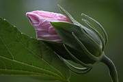 Nature - Swamp Rose Mallow Bud by Dale Kincaid
