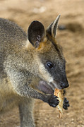 Wallaby Photos - Swamp Wallaby by Tony Camacho