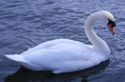 Photography Birds - Swan 1 by Steven Natanson