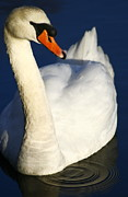 White Mute Swan Posters - Swan and Ripples Poster by Christopher Kirby
