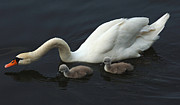 White Swan Photos - Swan And Signets by Bob Christopher