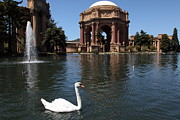 Swans Art - Swan at The San Francisco Palace of Fine Arts - 5D18069 by Wingsdomain Art and Photography