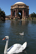 Palace Of Fine Arts Prints - Swan at The San Francisco Palace of Fine Arts - 5D18076 Print by Wingsdomain Art and Photography