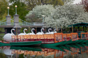 Flowering Trees Posters - Swan Boat Spring Poster by Susan Cole Kelly