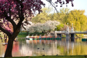 Boston Garden Prints - Swan Boats with Apple Blossoms Print by Susan Cole Kelly