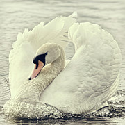 Preening Prints - Swan Causing Bow Wave Print by BlackCatPhotos