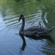 Anna Villarreal Garbis Photo Metal Prints - Swan Cygnet Metal Print by Anna Villarreal Garbis