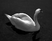 Dale   Ford - Swan