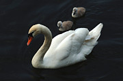River Rhine Prints - Swan Family 1 Print by Bob Christopher