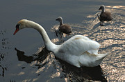 River Rhine Prints - Swan Family 3 Print by Bob Christopher