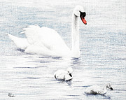 Swan Drawings Prints - Swan Family Print by Brent Ander