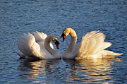 Swans Photos - Swan heart by Mats Silvan