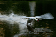 Nymphenburg Prints - Swan in motion Print by Andrew  Michael