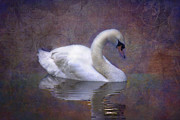 White Swan Photos - Swan in Pond by Mark Richards