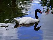 Mary Deal Photos - Swan in the Pond by Mary Deal