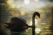 Water - Swan by Joel Witmeyer