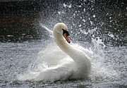 Grace.elligance.swans Splash Prints - Swan Print by Kathy Gibbons