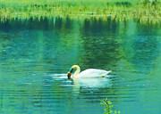 Swan Lake Print by Judi Bagwell