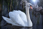 Swans... Photo Metal Prints - Swan Lake. Metal Print by Terence Davis