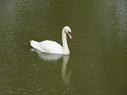 St Elizabeth Prints - Swan Looking at Reflection Print by Corinne Elizabeth Cowherd