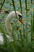White Swan Photos - Swan Naturally by Odd Jeppesen