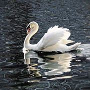 White Swan Photos - Swan on Lake Eola by Glennis Siverson