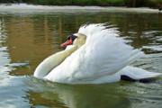 Swan On Pensacola Bay Print by Richard Roselli