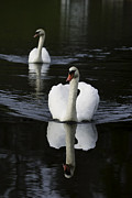 Lake Photographs Framed Prints - Swan Pair 2 Framed Print by Rob Travis