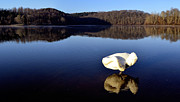 Pinion Art - Swan panorama by Brian Stevens