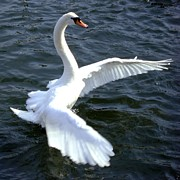 ilendra Vyas - Swan ready for take off