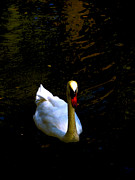 Swans Digital Art - Swan River  by Steven  Digman