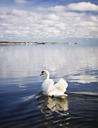 Nature Scene Metal Prints - Swan Song Metal Print by Vicki Jauron