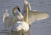 Color Stretching Prints - Swan Spreading And Stretching Wings Print by Robert Postma