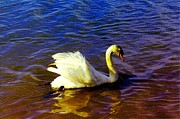 Sail Fish Prints - Swan Swimming In The Lake Print by Annie Zeno