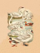 Bewick Mixed Media Prints - Swans and Ducks Print by Eric Kempson
