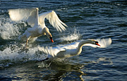 Mating Season Framed Prints - Swans at War Framed Print by Charline Xia