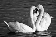 Valentines Day Framed Prints - Swans Framed Print by Brandon Broderick