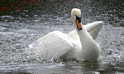 Birds - Swans Dance by Kathy Gibbons