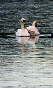 E Black Framed Prints - Swans Framed Print by Darren Burroughs