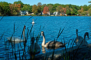 Lake Pyrography Prints - Swans in Autumn Lake Print by Frank Garciarubio